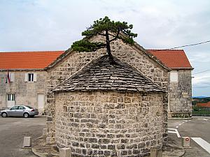 A tree growing through an old church roof, on Brac.