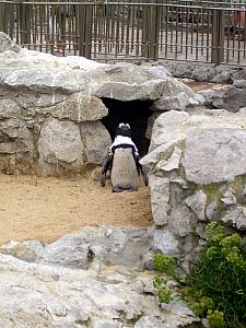 Penguin lost in Spain. (The beach had a free mini zoo with some sea lions and a couple penguins.)
