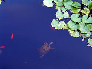 Turtle swimming in a pond at Jardin de Majorelle