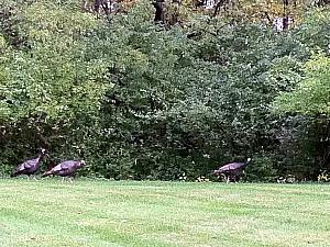 Kelly saw wild turkeys outside the parking lot of her P&G Winton Hill office.
