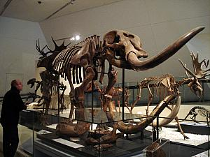 A mastodon (I think). These fossil skeletons were my favorite part of the museum!