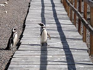 Punta Tombo - Penguins! Penguins using the people bridge.