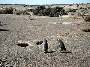 Punta Tombo - Penguins! Here's an example of a nest, they burrow a hole into the ground.