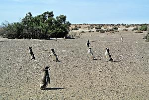 Punta Tombo - Penguins!