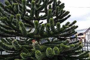 Punta Arenas, Chile - a local cactus tree, known as a Monkey Puzzle Tree