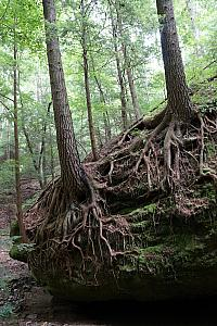 Interesting tree roots exposed on a tree growing on a giant boulder.