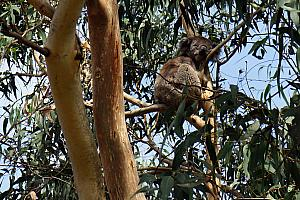 We also stopped to see some Koala's in the wild! They sleep - a LOT. Something like 90% of their life. More about Koala's later.