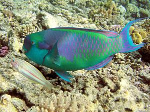 More underwater photos - borrowed from the Internets - a parrot fish, that banged its beak on the coral to break it up and eat it.