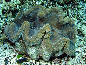 More underwater photos - borrowed from the Internets - another giant clam
