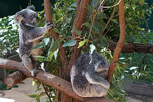 April 5: Brisbane. We visited the Lone Pine Koala Sanctuary, which housed more than 100 koalas!