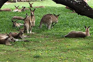 "Lots of kangaroos in the ""resting zone"""