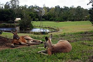 We had to roam away from the main pasture to find these bigger kangaroos.