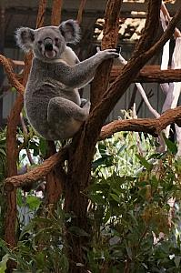 Back to the koalas.