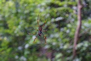 Giant spider! We saw several of these 5-inch-diameter spiders during our walks in the rainforests.