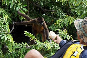 Our guide feeding a monkey a piece of a coconut on Monkey Island.
