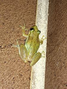 This is a little frog that would come visit our shower every evening -- he was only about the size of quarter, but would jump several feet at once. Fun guy!