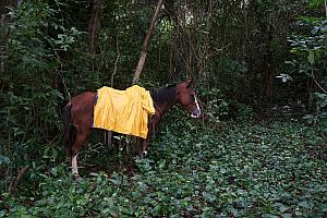 A farmer's horse hanging out in the rainforest; the farmers are out collecting coffee beans.