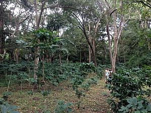 Walking through a grove of coffee bushes -- I was surprised that the coffee beans looked just like little green and red berries.