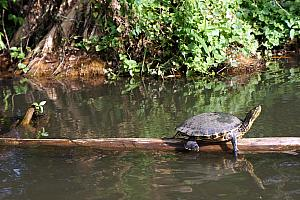 Floating by a turtle hanging out on a log.