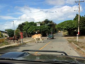 Thursday, December 19: And here's an example of a series of cows crossing the road.