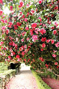 The gardens were filled with Camellias!