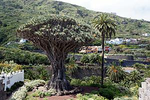 "The ""famous"" Dragon Tree in Tenefire, in the town of Icod De Los Vinos"