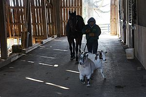 This was a funny story -- this horse and the two goats are inseparable. We were told a story that they were once separated, and had to fly the two goats from Florida to Kentucky to reunite with the horse to keep him calm.