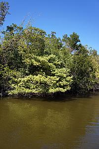 A Manchineel tree growing along the river. These are one of the most poisonous trees in the world.