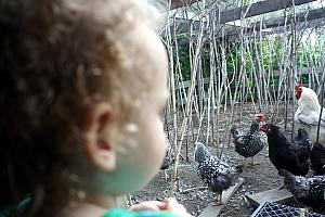 Checking out the hens and rooster