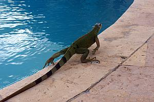 Friday, March 10: visiting one of the pools with our new friend Iggy  the iguana.
