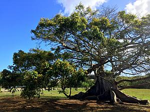 Wednesday, March 15: giant Ceibe tree