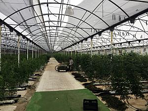 Visiting the tomato greenhouse on site
