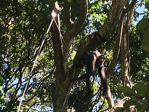 Visiting the spider monkeys